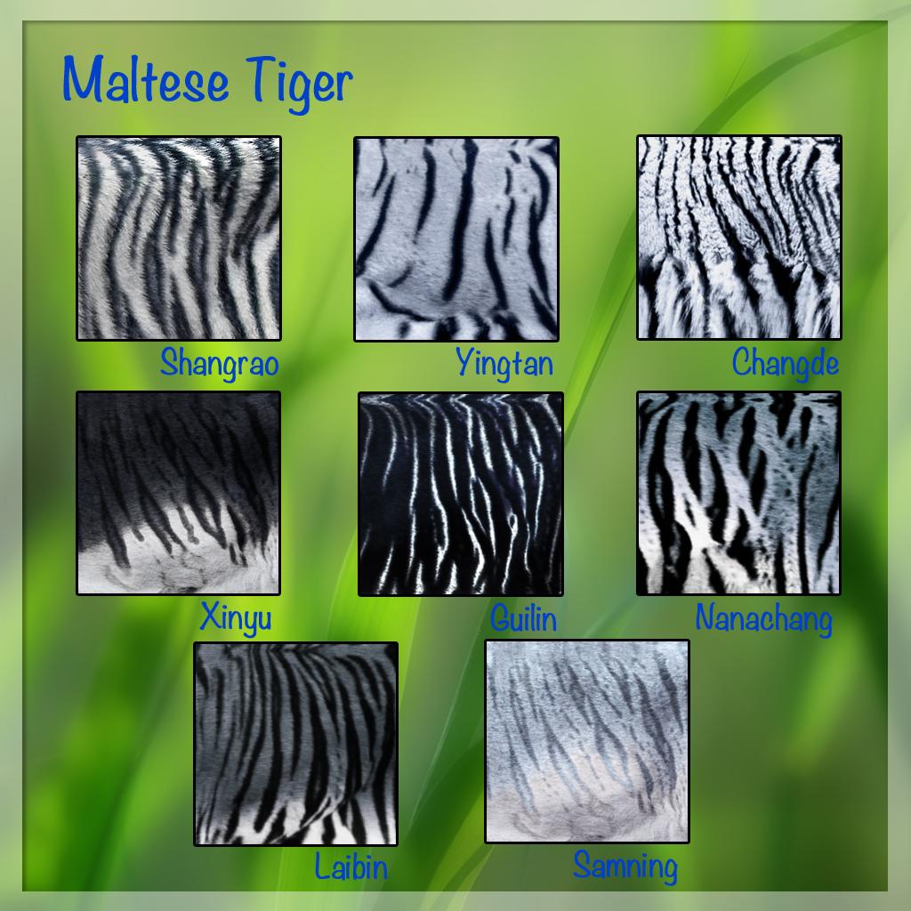 maltese-tiger-furs