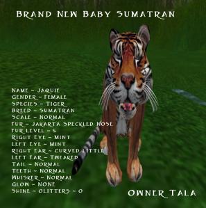 New Tiger Breed_ Sumatran(2)