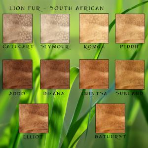 South African Lion Fur Traits