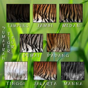 Tiger SumatranTraits