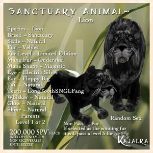 Sanctuary African Lion